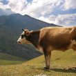 Brown cow in the mountains during summer — Stock Photo #4379962
