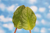 Two green leaves isolated on the white — Stock Photo
