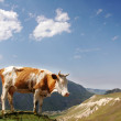 Brown cow in the mountains during summer — Stock Photo #4380118