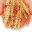 Hands holding wheat ears isolated on white - Stock Photo
