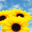 Three sunflowers isolated against the blue sky — Stock Photo