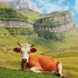 Cow in high mountains — Stock Photo #4428929