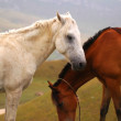 Two horses - white and brown — Stock Photo