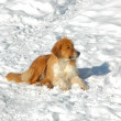 Stock Photo: Dog in snow