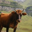 The bull in mountains — Stock Photo #4429996