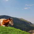 Cow grazing in the mountains — Stock Photo #4429997