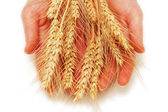 Hands holding wheat ears isolated on white — Stock Photo