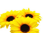 Three sunflowers isolated on the white background — Stock Photo