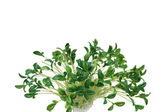 Green leaves isolated on the white background — Stock Photo