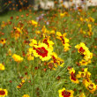 Yellow flowers in the summer — Stockfoto
