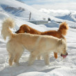Two dogs playing in snow — Stock Photo