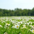 Field with daises - shallow field of depth — Stock fotografie