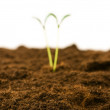 Green seedling - focus in front — Stock Photo #4511985