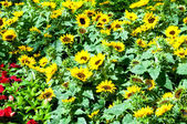 Yellow sunflowers on the bright summer day — Stock Photo