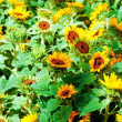 Yellow sunflowers on the bright summer day — Stockfoto