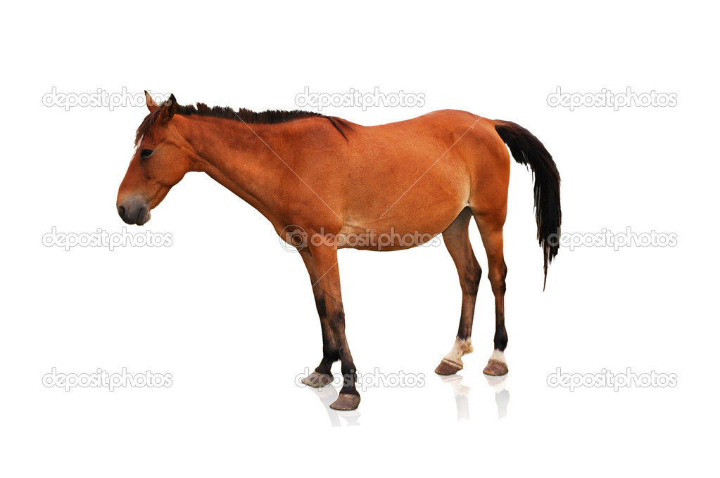 Brown horse isolated on the white background — Stock Photo ...