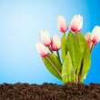 Colourful tulip flowers growing in the soil — Stock Photo