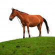 Brown horse on the grass field — Stock Photo