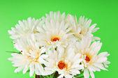 White gerberas in the pot — Stock Photo
