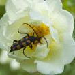 Bug on a dogrose flower — Stock Photo