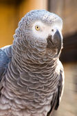 Grey parrot of Zhako (Psittacus erithacus) — Stock Photo