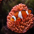 Stock Photo: Clownfish Amphiprion ocellaris