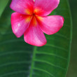 Stock Photo: Flowers (plumeria)