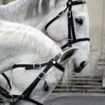 Two white horses — Stock Photo