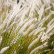 Stock Photo: Grass stalks