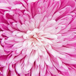 Chrysanthemum — Stock Photo #4410662