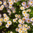 Camomile — Stock Photo #4410782