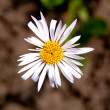 Camomile - Photo