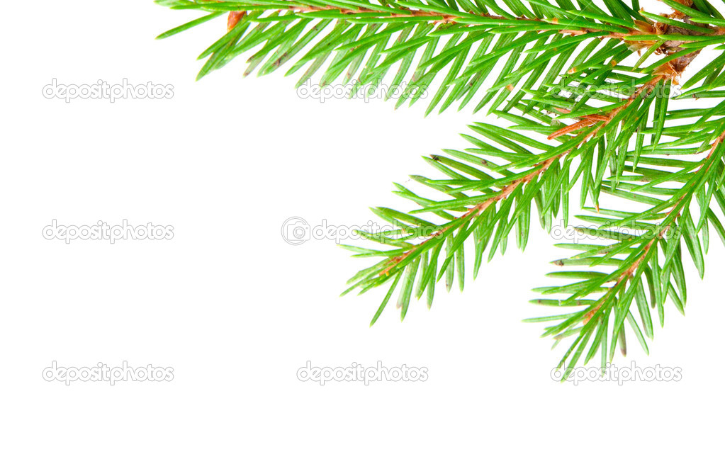 Green banch of fir isolated on white — Stock Photo #4410821