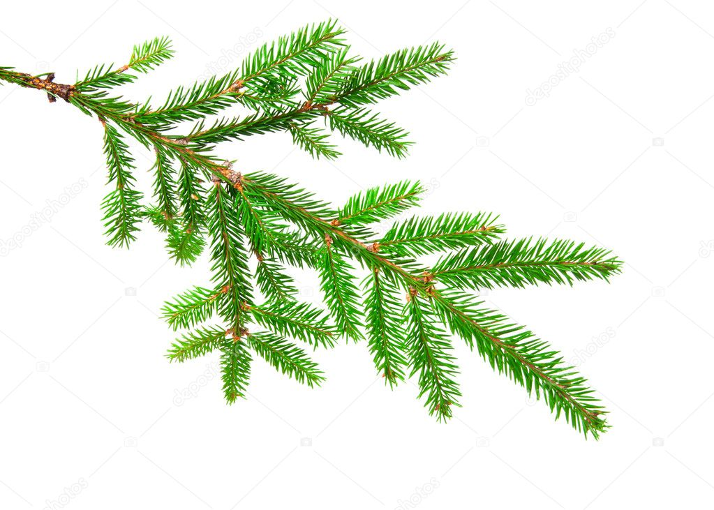 Green banch of fir isolated on white — Stock Photo #4410824
