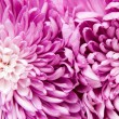 Chrysanthemum — Stock Photo #4426419