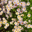 Camomile — Stock Photo #4426544