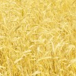 Field of rye - Stock Photo