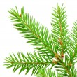Green banch of fir isolated on white — Stok fotoğraf