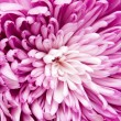 Chrysanthemum — Stock Photo #4619389