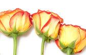 Tři růže — Stock fotografie