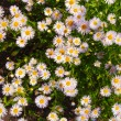 Camomile — Stock Photo #4742799