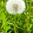 White dandelion — Stock Photo #5325038