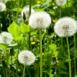White dandelion - Stock Photo