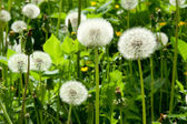 White dandelion — Photo