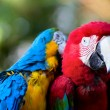 Stock Photo: colorful macaw parrots