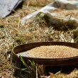 Closeup of rice harvest - Stock Photo