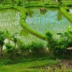 Rice field — Stock Photo #4640312