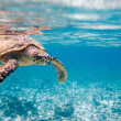 Royalty-Free Stock Photo: Hawksbill sea turtle