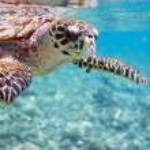 Hawksbill sea turtle — Stock Photo #4682321