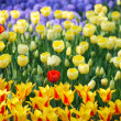 Blue, yellow and red flowers - Stock Photo